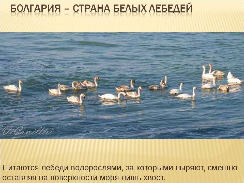 Питаются лебеди водорослями, за которыми ныряют, смешно оставляя на поверхнос...
