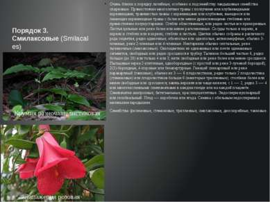 Порядок 3. Смилаксовые(Smilacales) Очень близок к порядку лилейные, особенно...