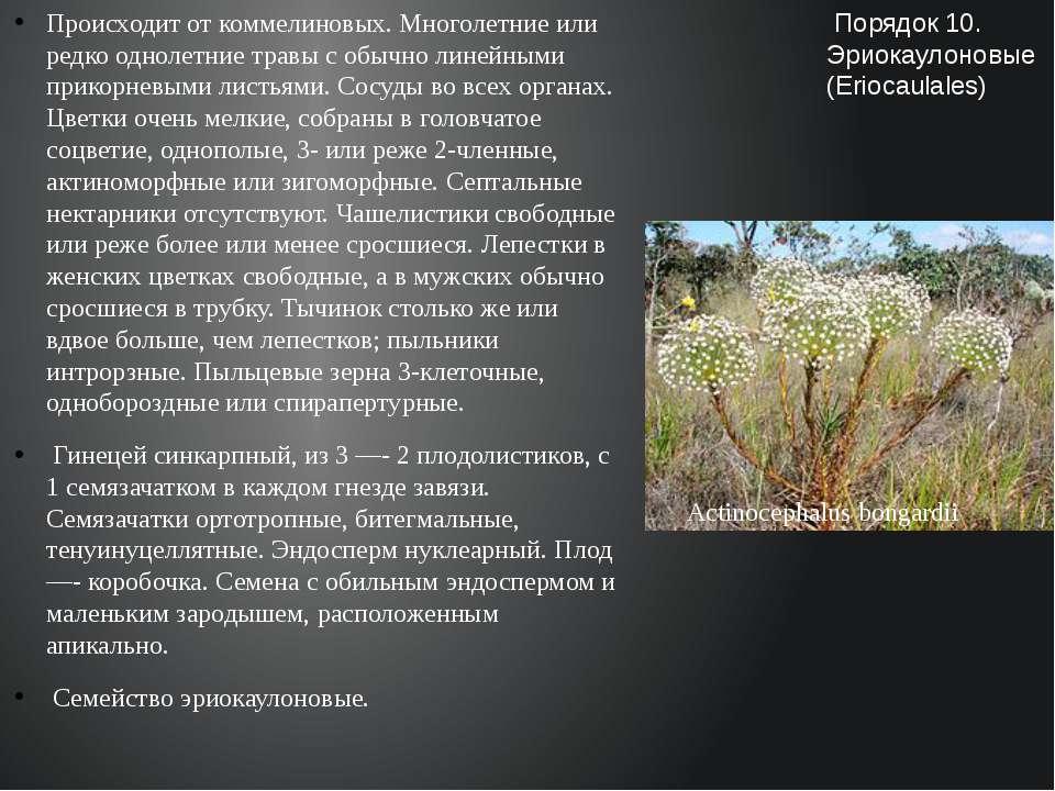 Происходит от коммелиновых. Многолетние или редко однолетние травы с обычно л...