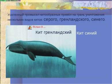 Усиленный промысел китообразных привёл на грань уничтожения нескольких видов ...