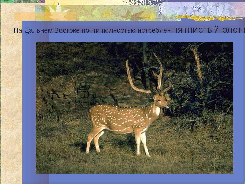 На Дальнем Востоке почти полностью истреблён пятнистый олень