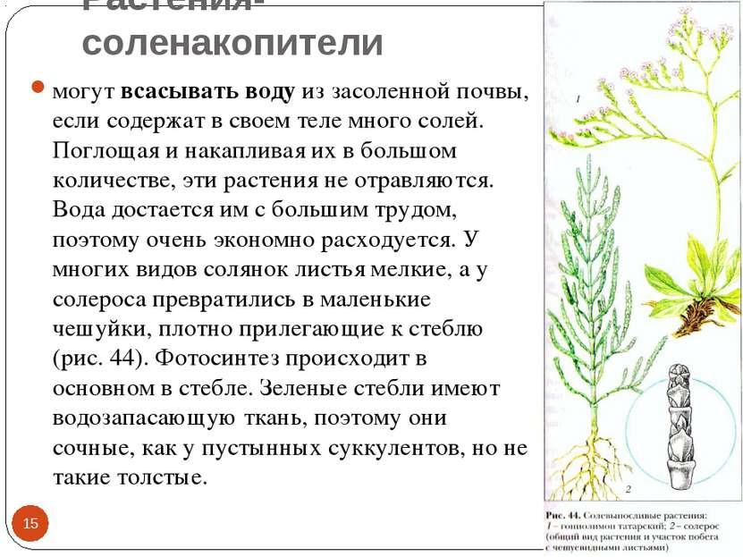 Растения-соленакопители * * могут всасывать воду из засоленной почвы, если со...
