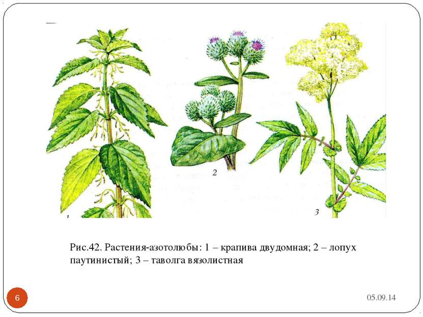 * * Рис.42. Растения-азотолюбы: 1 – крапива двудомная; 2 – лопух паутинистый;...