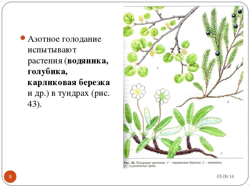 * * Азотное голодание испытывают растения (водяника, голубика, карликовая бер...
