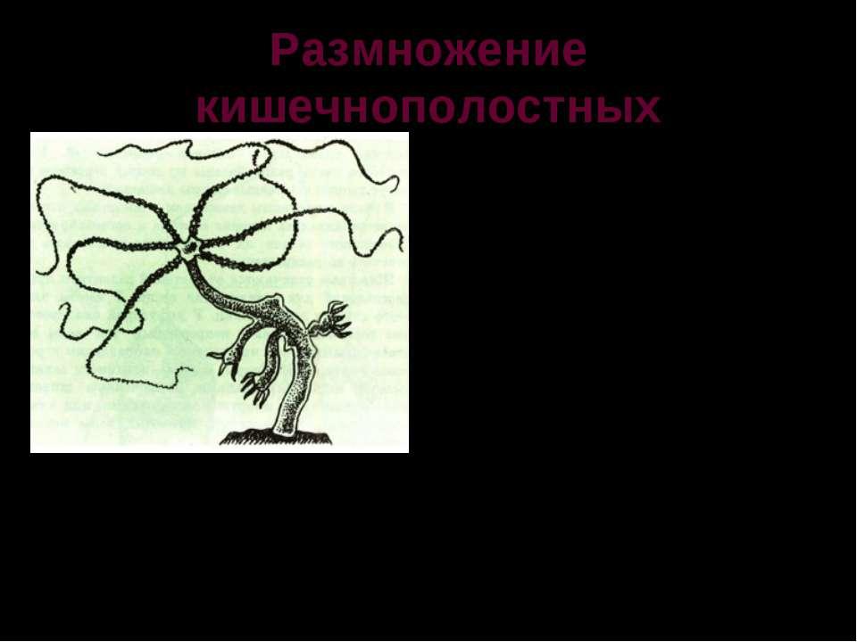 Размножение кишечнополостных Пресноводные гидры размножаются почкованием и по...
