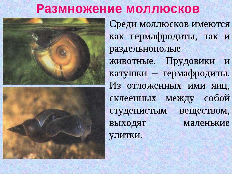 Размножение моллюсков Среди моллюсков имеются как гермафродиты, так и раздель...
