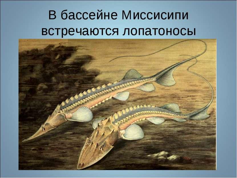 В бассейне Миссисипи встречаются лопатоносы