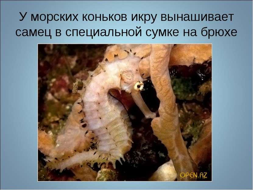 У морских коньков икру вынашивает самец в специальной сумке на брюхе
