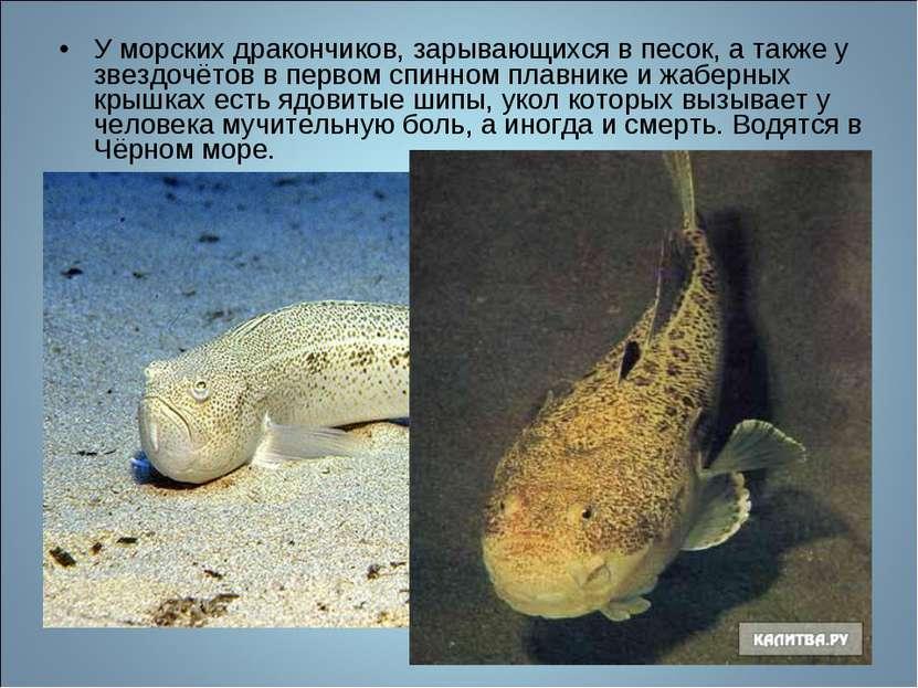 У морских дракончиков, зарывающихся в песок, а также у звездочётов в первом с...