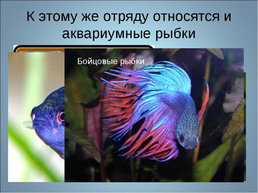 К этому же отряду относятся и аквариумные рыбки Гурами