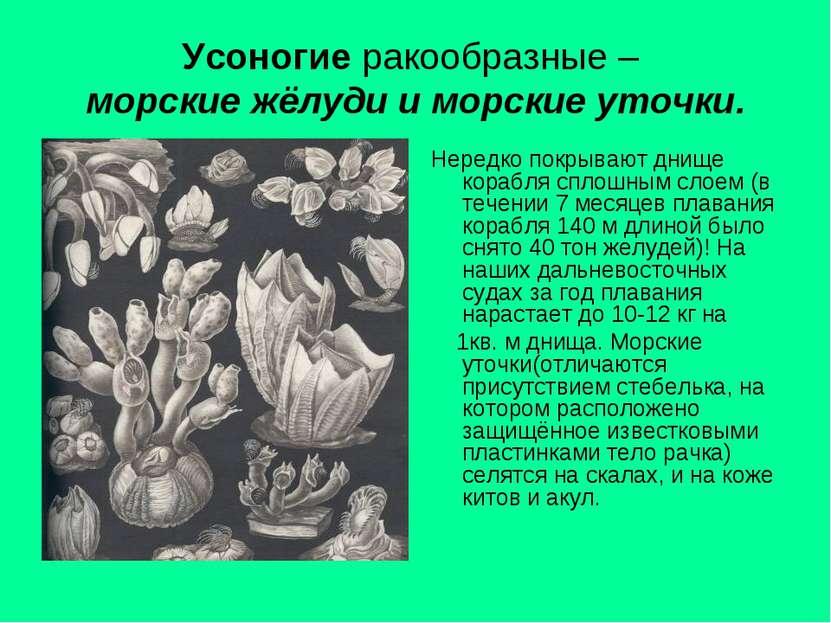 Усоногие ракообразные – морские жёлуди и морские уточки. Нередко покрывают дн...