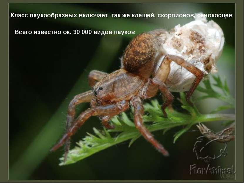 Класс паукообразных включает так же клещей, скорпионов, сенокосцев Всего изве...