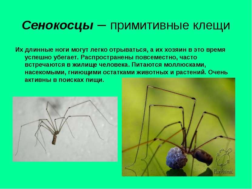 Сенокосцы – примитивные клещи Их длинные ноги могут легко отрываться, а их хо...