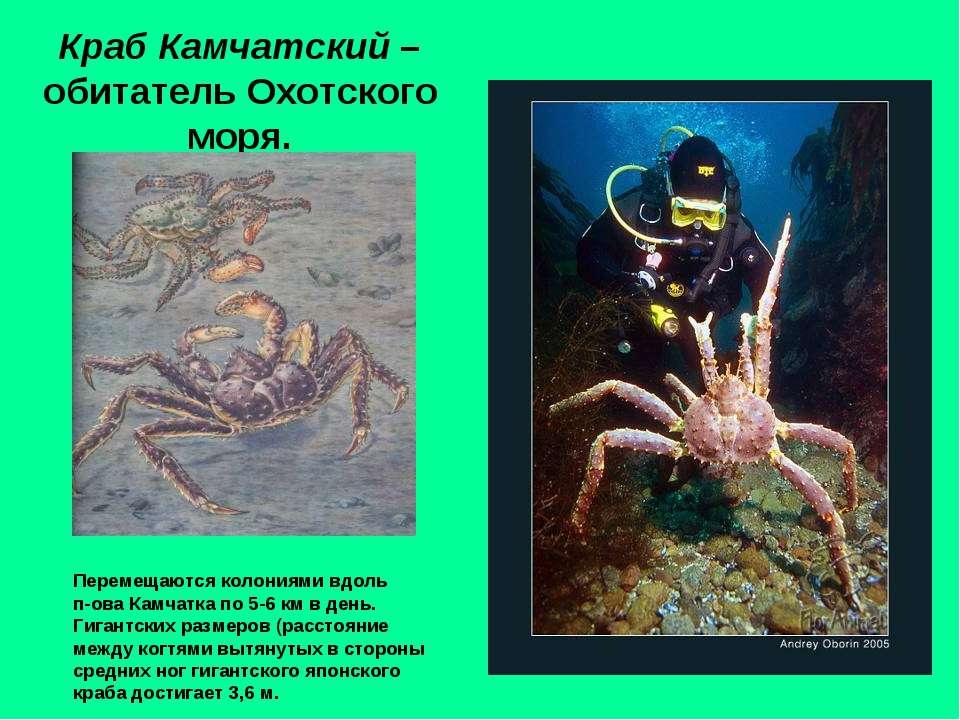 Краб Камчатский – обитатель Охотского моря. Перемещаются колониями вдоль п-ов...