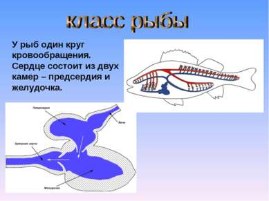 У рыб один круг кровообращения. Сердце состоит из двух камер – предсердия и ж...