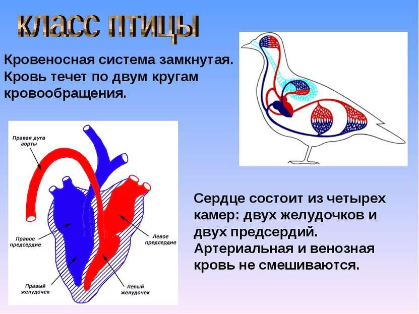 Кровеносная система замкнутая. Кровь течет по двум кругам кровообращения. Сер...