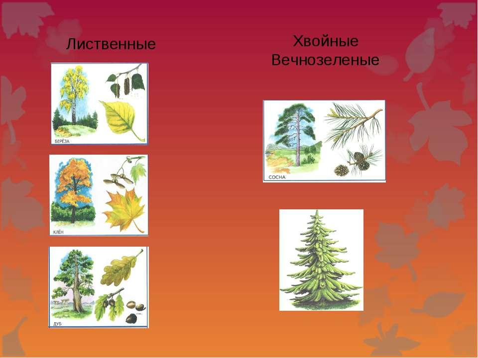 Лиственные Хвойные Вечнозеленые