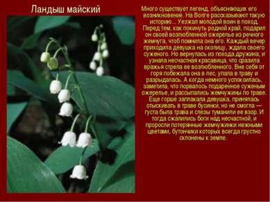 Ландыш майский Много существует легенд, объясняющих его возникновение. На Вол...