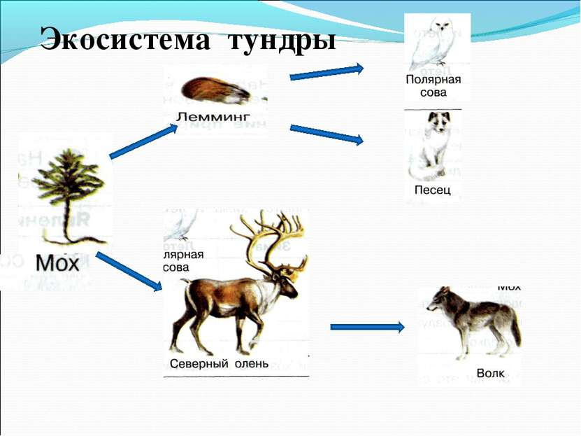 Экосистема тундры