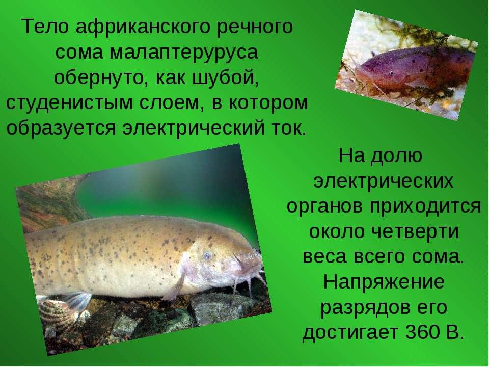 Тело африканского речного сома малаптеруруса обернуто, как шубой, студенистым...