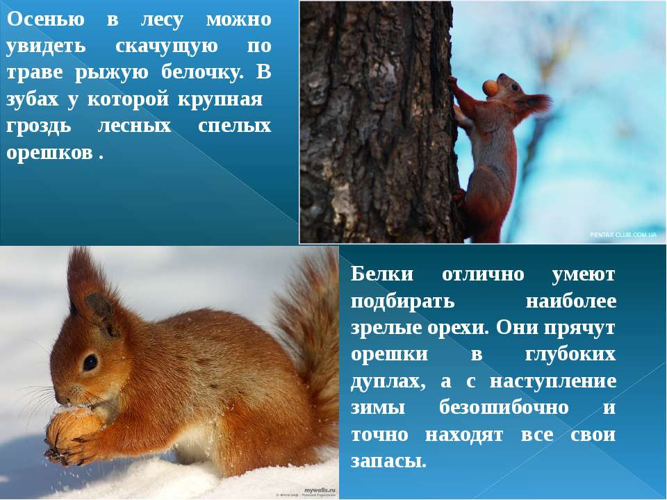 Осенью в лесу можно увидеть скачущую по траве рыжую белочку. В зубах у которо...