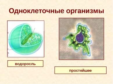 Одноклеточные организмы водоросль простейшее