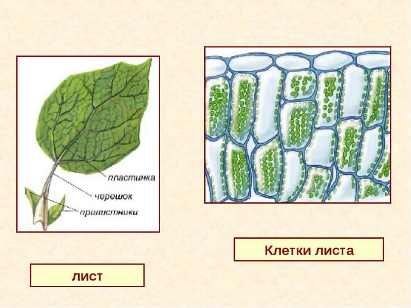 лист Клетки листа