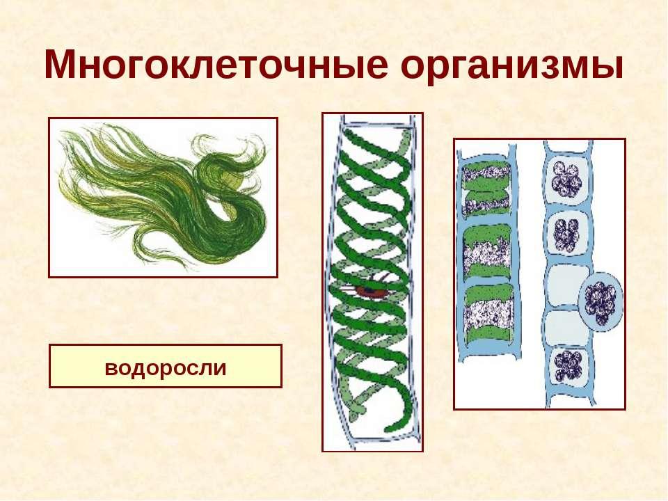 Многоклеточные организмы водоросли