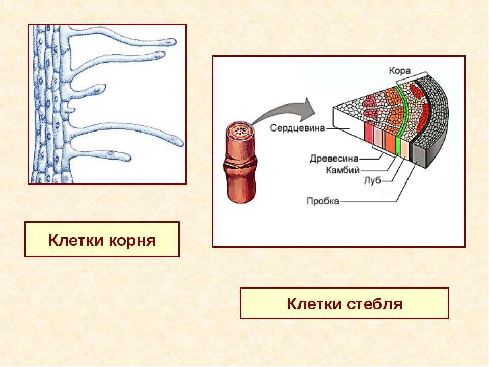 Клетки корня Клетки стебля