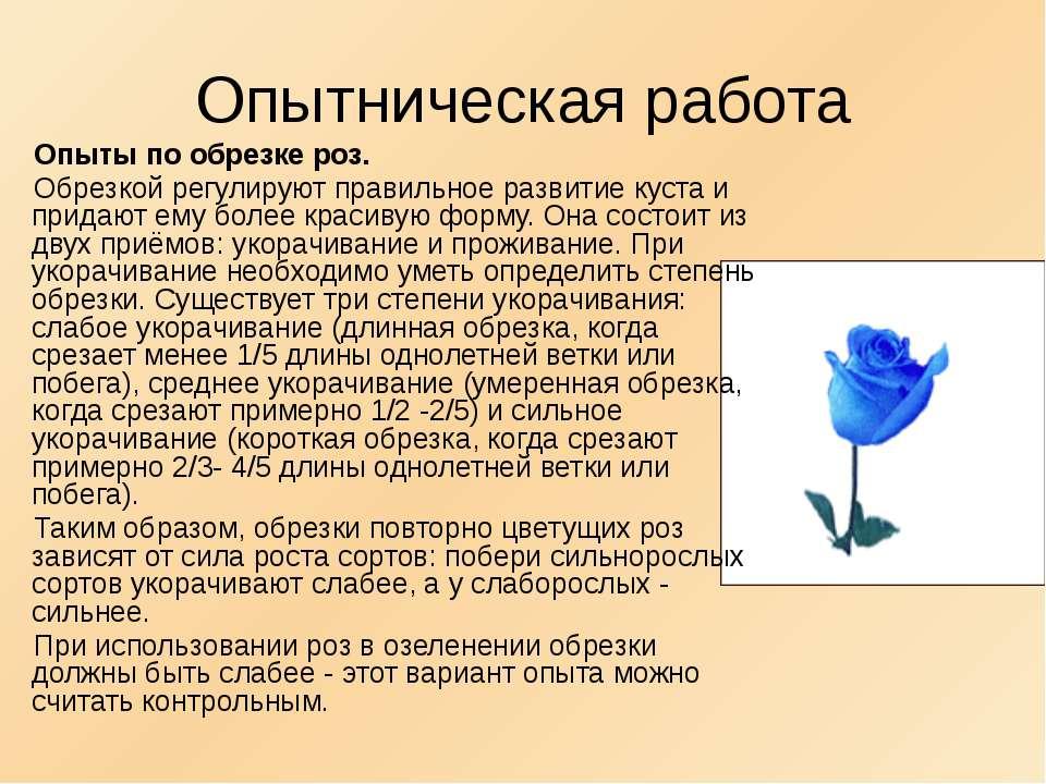 Опытническая работа Опыты по обрезке роз. Обрезкой регулируют правильное разв...