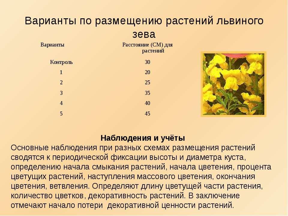 Варианты по размещению растений львиного зева Наблюдения и учёты Основные наб...