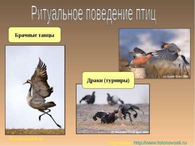 Брачные танцы Planeta.remler.ru Источник: http://www.fotonovosti.ru Драки (ту...