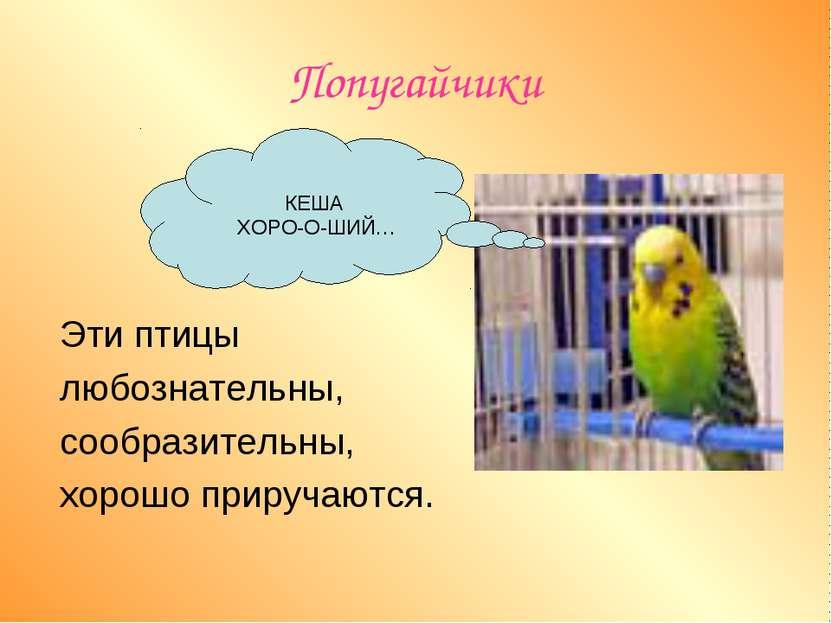 Попугайчики Эти птицы любознательны, сообразительны, хорошо приручаются. КЕША...