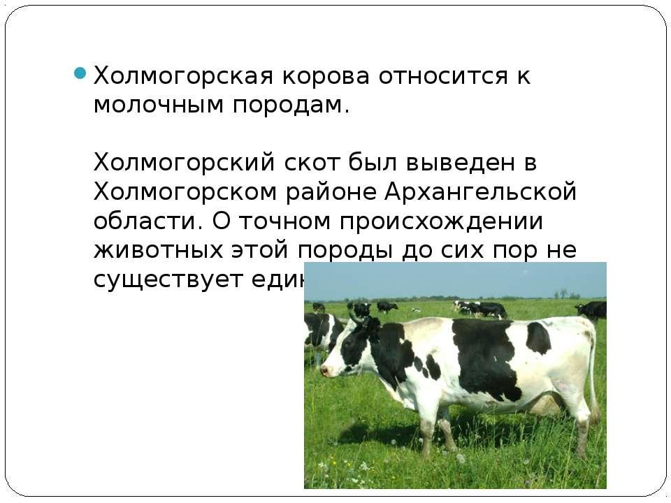 Холмогорская корова относится к молочным породам. Холмогорский скот был вывед...