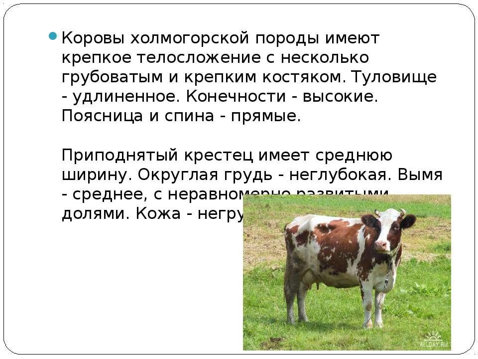Коровы холмогорской породы имеют крепкое телосложение с несколько грубоватым ...