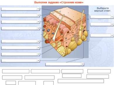 Ороговевшие клетки Живые клетки Волосяная луковица Жировая ткань Потовая желе...
