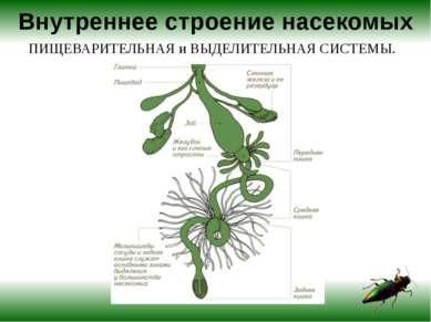 Внутреннее строение насекомых ПИЩЕВАРИТЕЛЬНАЯ и ВЫДЕЛИТЕЛЬНАЯ СИСТЕМЫ.