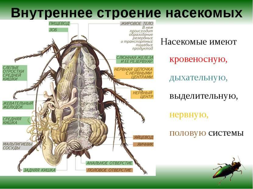 Внутреннее строение насекомых Насекомые имеют кровеносную, дыхательную, выдел...