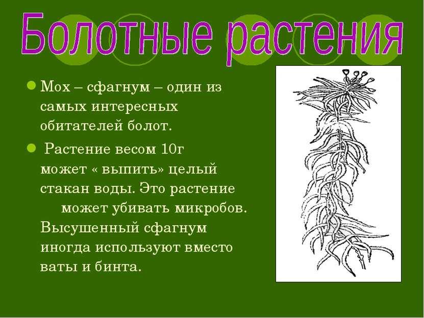 Мох – сфагнум – один из самых интересных обитателей болот. Растение весом 10г...