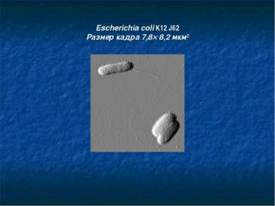Escherichia coli K12 J62 Размер кадра 7,8´ 8,2 мкм2