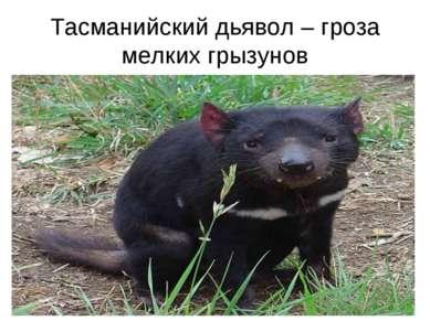 Тасманийский дьявол – гроза мелких грызунов