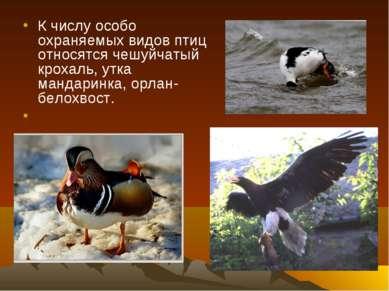 К числу особо охраняемых видов птиц относятся чешуйчатый крохаль, утка мандар...