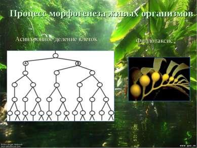 Процесс морфогенеза живых организмов Асинхронное деление клеток Филлотаксис
