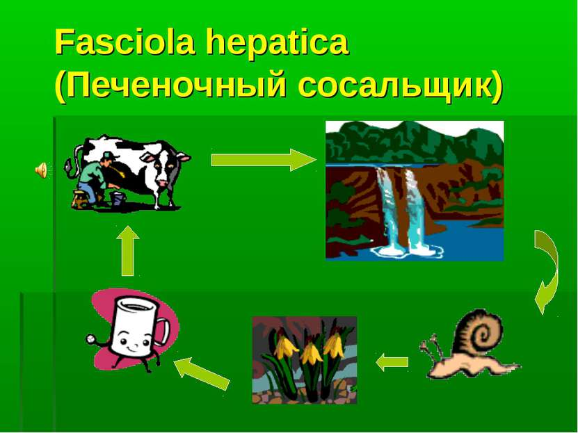 Fasciola hepatica (Печеночный сосальщик)