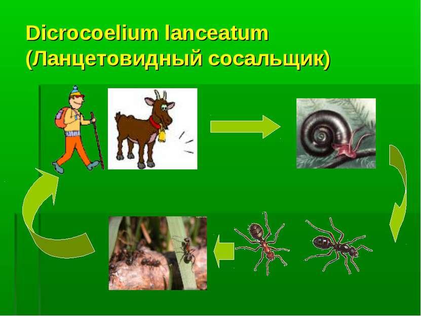 Dicrocoelium lanceatum (Ланцетовидный сосальщик)