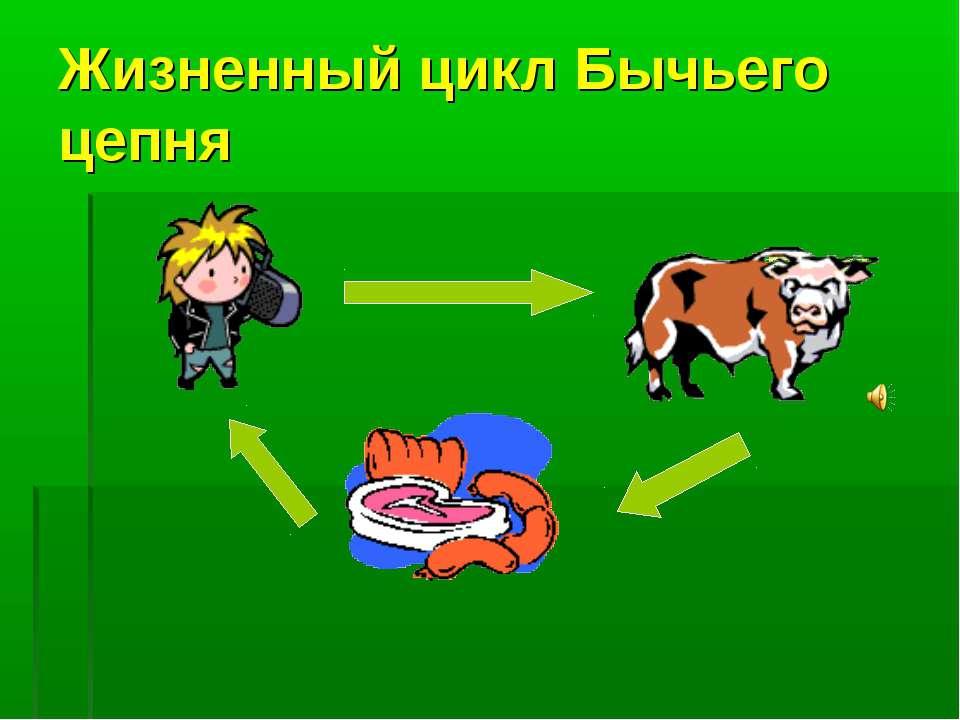 Жизненный цикл Бычьего цепня