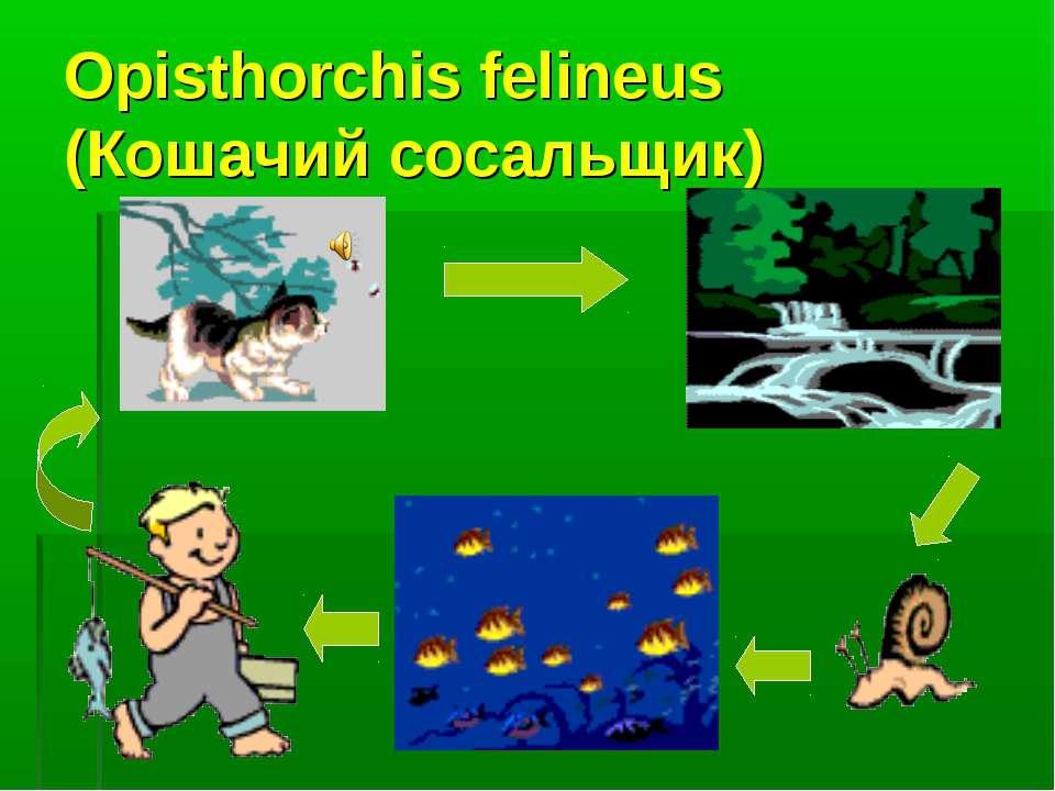 Opisthorchis felineus (Кошачий сосальщик)
