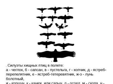 . Силуэты хищных птиц в полете: а - чеглок, б - сапсан, в - пустельга, г - ко...