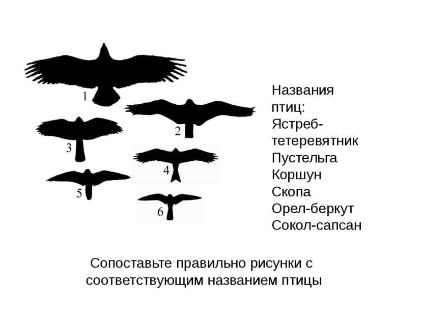 Названия птиц: Ястреб-тетеревятник Пустельга Коршун Скопа Орел-беркут Сокол-с...