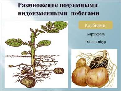 Клубнями Картофель Топинамбур